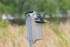 Two tree swallows squabbling on a nesting box