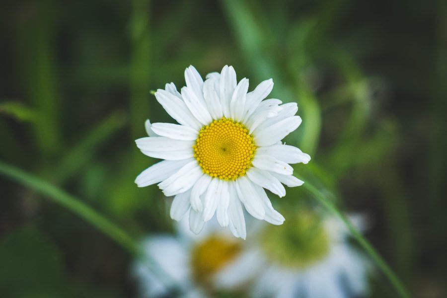 A fully bloomed oxeye daisy with white petals and a yellow disc floret.