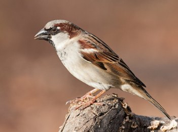 A brown and white male house sparrow