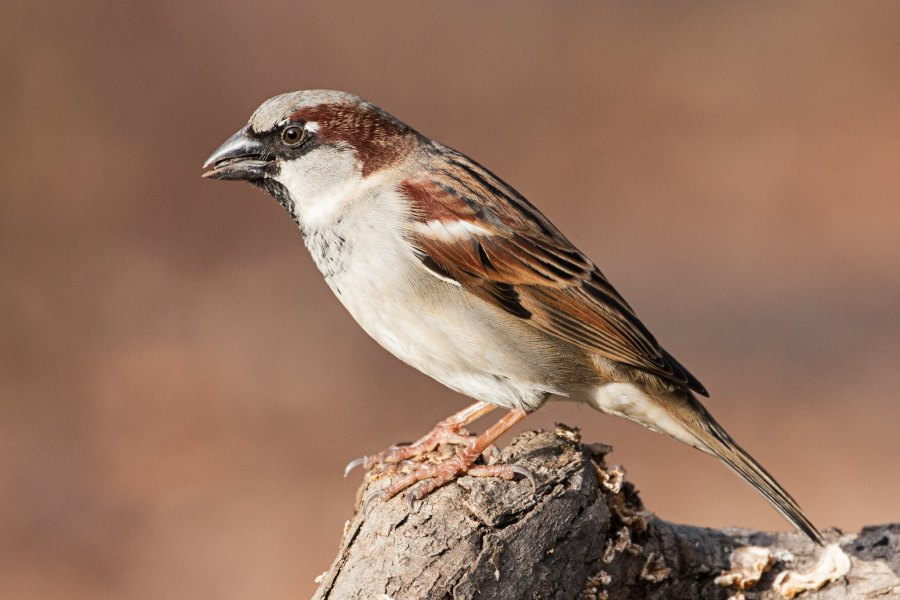 A brown and white male house sparrow.