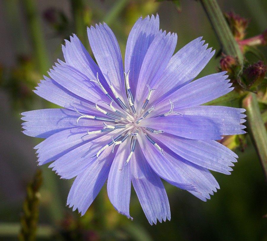 The purplish, periwinkle flower of common chicory.