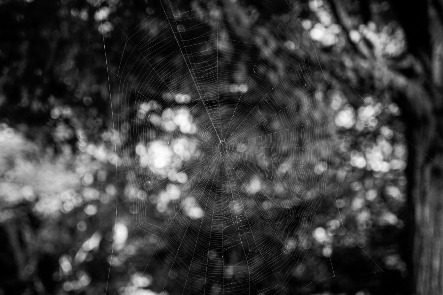 A large spider web hangs between two trees.