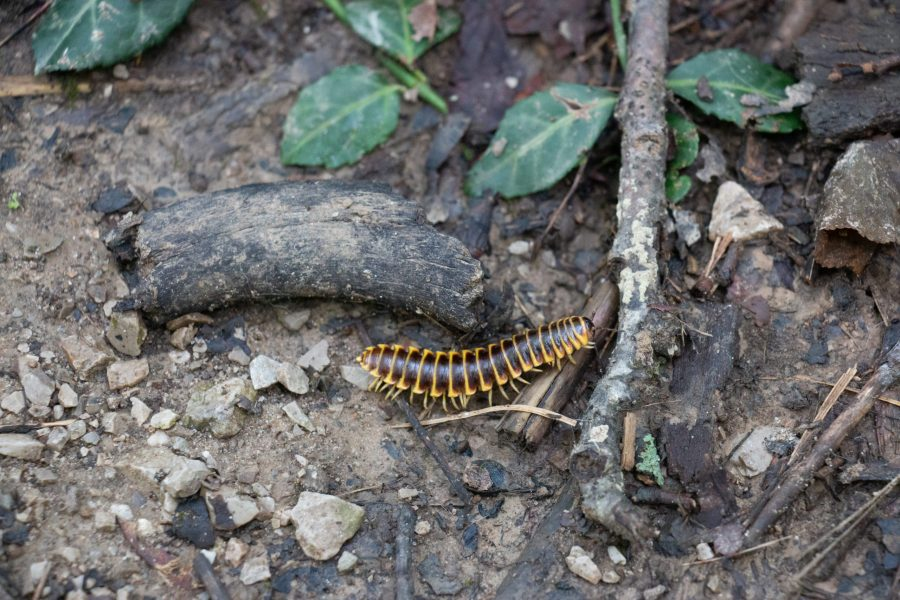 A black-and-gold flat millipede walks on the forest floor of dirt, rocks and sticks at Withrow Nature Preserve.