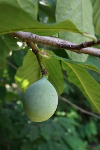 A green pawpaw fruit hangs from the branches of a pawpaw tree.