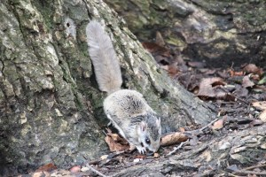 A southern flying squirrel sits with its tail straight up at the trunk of a tree on an autumn day.