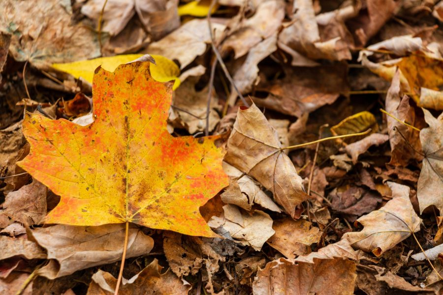 An orange-yellow leaf stands out among brown leaves on the ground.