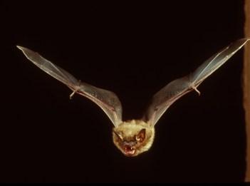 A big brown bat flies through the night.