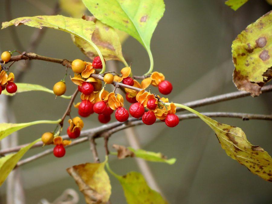 Asian Bittersweet (Celastrus orbiculatus)