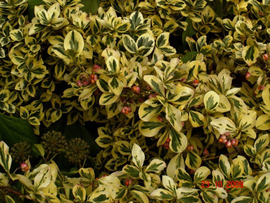 Wintercreeper (Euonymus fortunei)