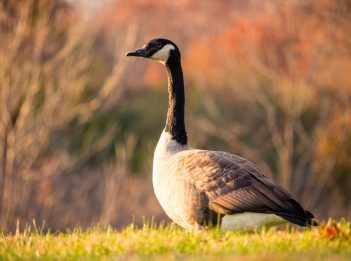A Canada goose stands in a field on a sunny fall morning.