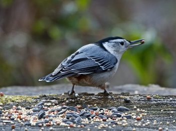 A nuthatch sits on a log and has birdseed in its beak on an early winter morning.