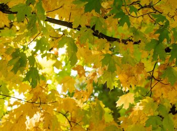 Green and yellow leaves hang from a tree on a sunny fall day.