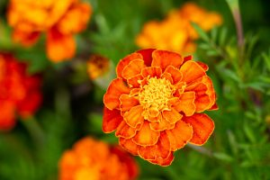 A bright orange Mexican marigold is in full bloom at Parky's Farm.