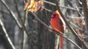 A bright red male northern cardinal sits among bare tree branches in winter.