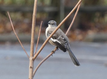 A northern mockingbird sits in a small tree.