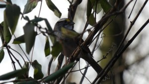 A white-throated sparrow hides among skinny tree branches.