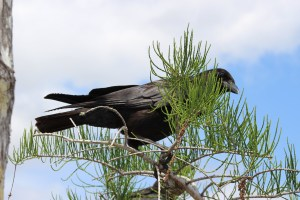 A black American crow perches among the needles in a pine tree.