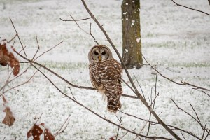 A barred owl sits on a tree branch in Winton Woods. It is snowing.
