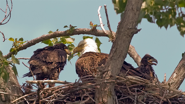 A mature bald eagle sits in its nest with its two chicks.