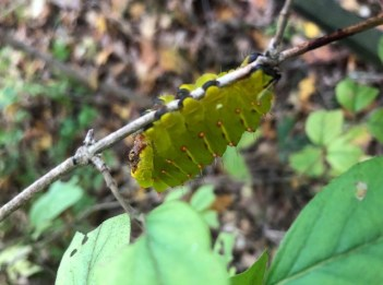 A green Antheraea Polyphemus caterpillar clings to a twig