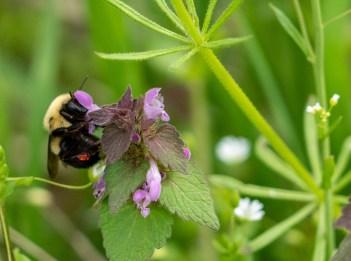 A bee pollinates purple flowers.