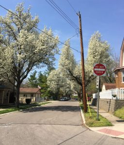 Callery pear trees line a residential street.