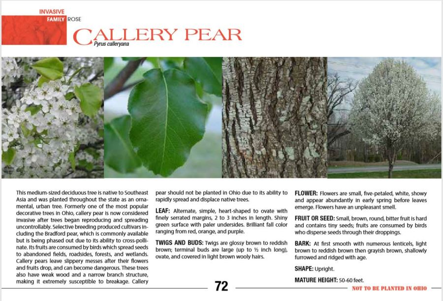 Photos show how to identify Callery Pear.