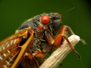 A closeup image of a Brood X cicada shows off its bright red eyes.