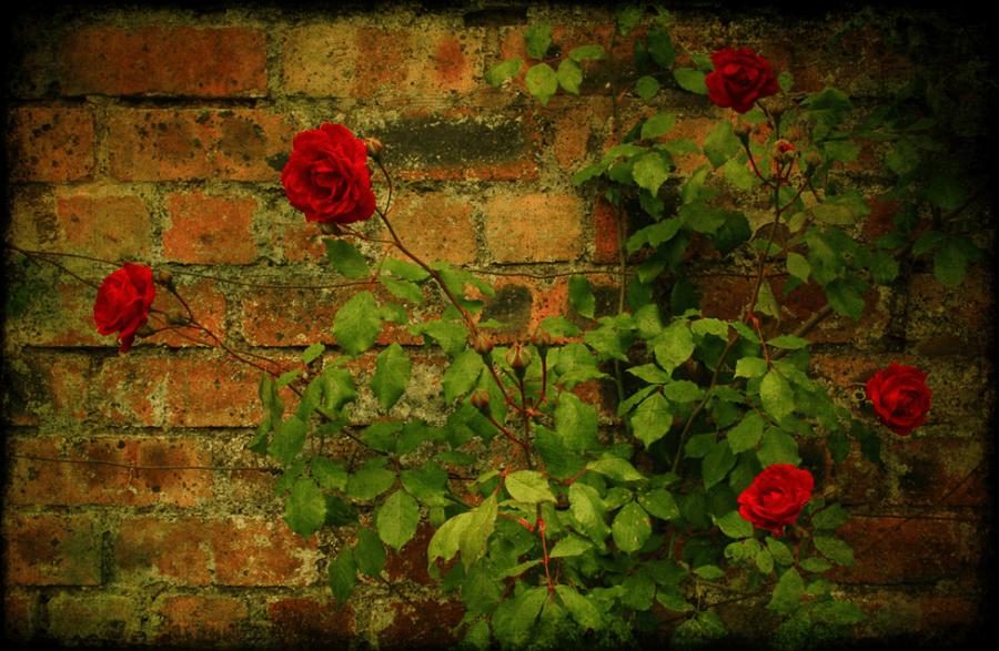 Roses grow along a brick wall.