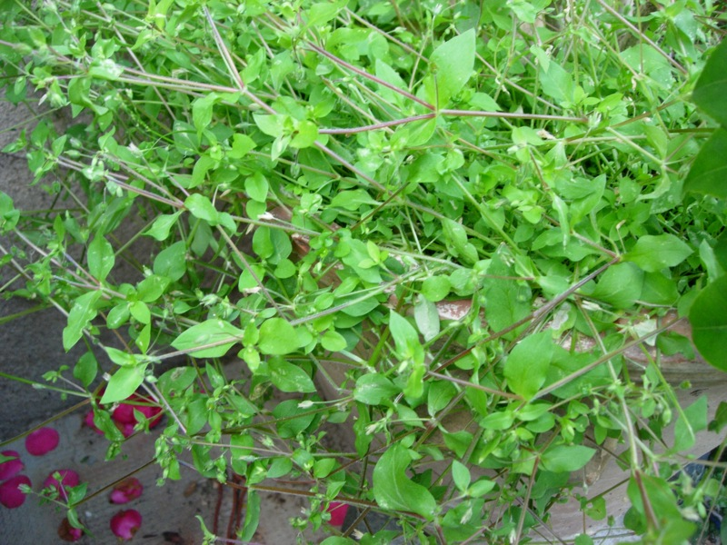 The green leaves of a chickweed plant.