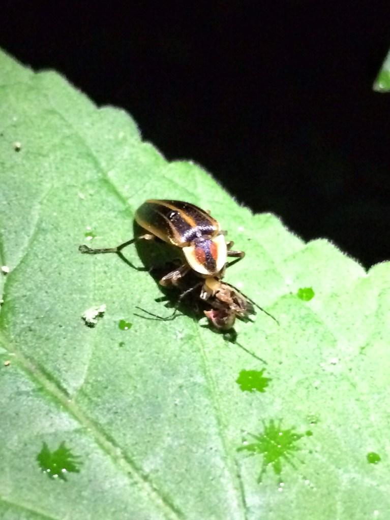 A female Photuris spp. lightning bug eating a male Photinus spp. lightning bug.
