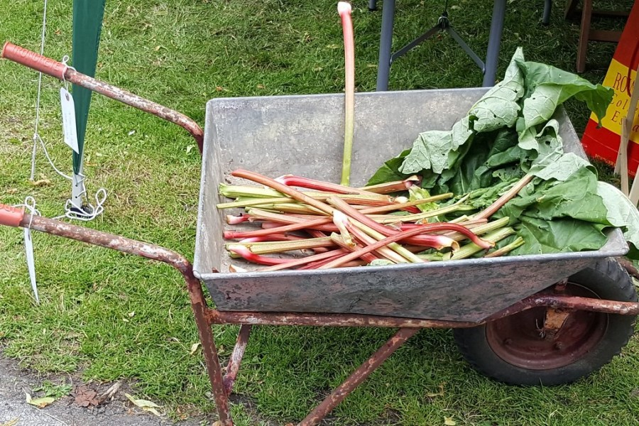 A pile of freshly collected rhubarb sits in a wheelbarrow.