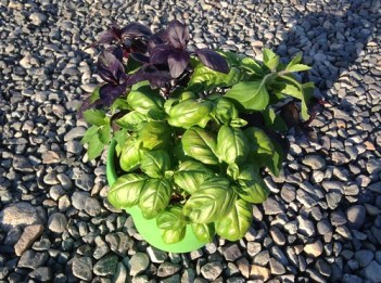 Three different types of basil varieties in a planter.
