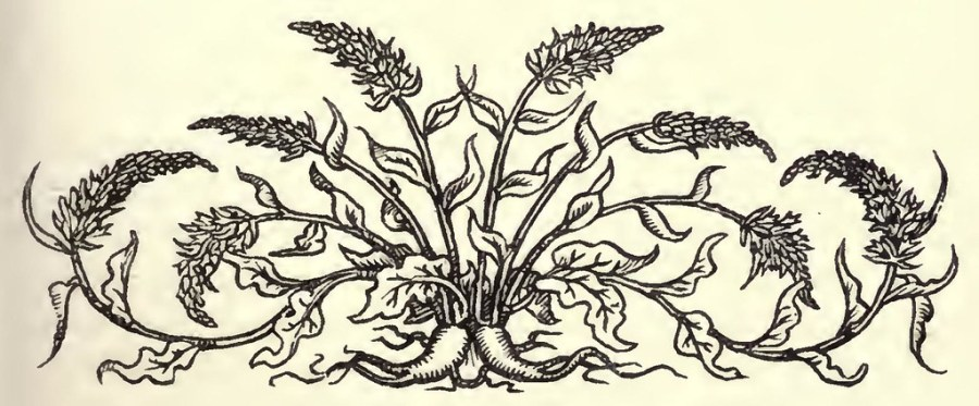 A drawing of the Rapunzel plant.
