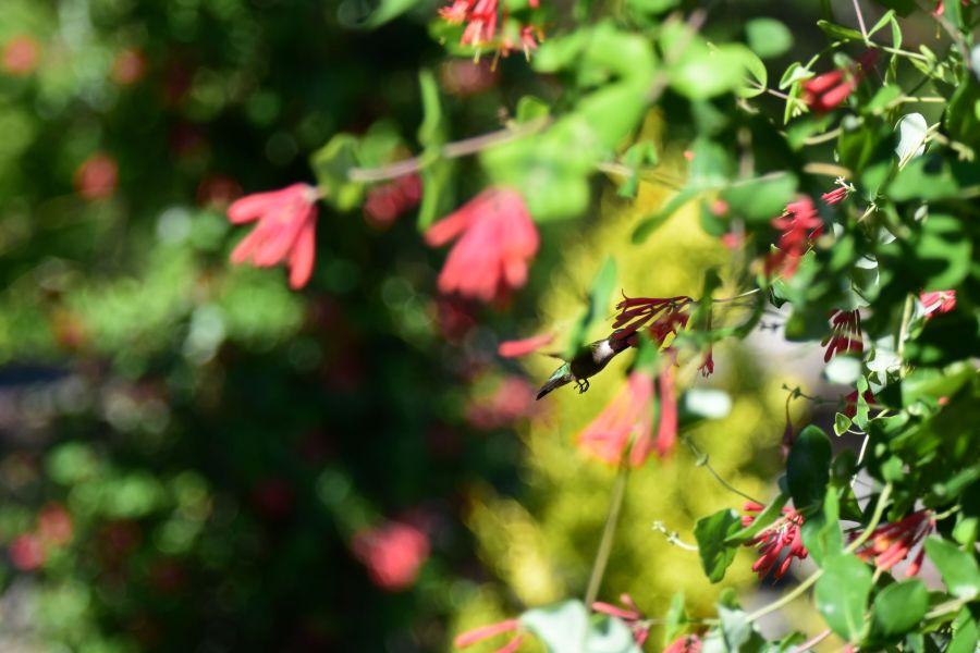 A hummingbird enjoys nectar from a flower.