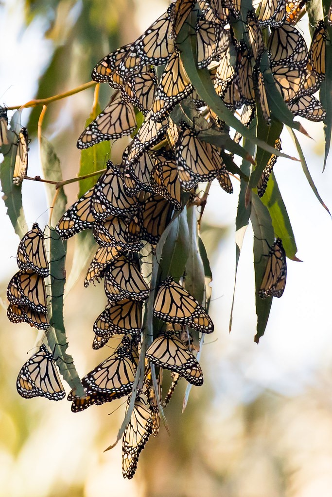A large group of monarch butterflies hang on leaves of a tree branch.