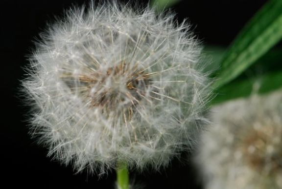 dandelion-top
