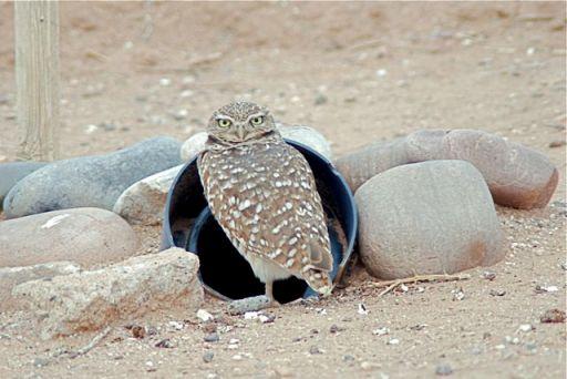 burrowing-owl2_2
