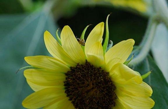 sunflower-bee1