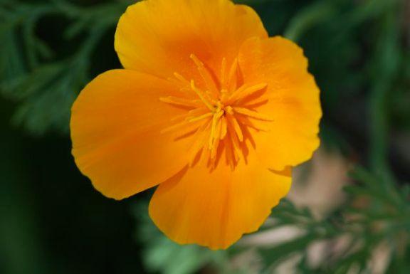 orange-poppy