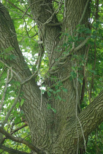walnut-bark