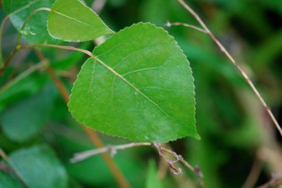 cottonwood-leaf