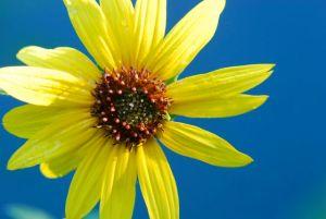 sunflower-single