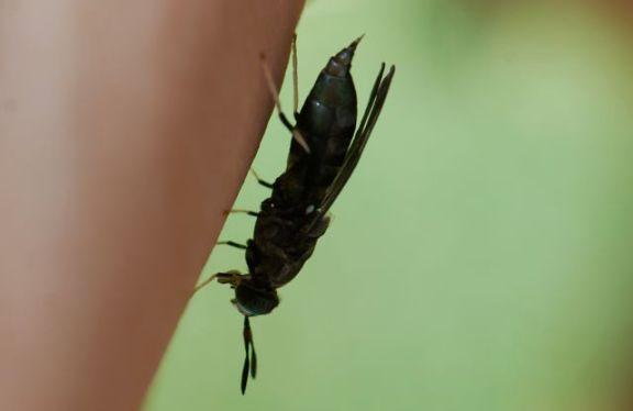 black-soldier-fly-side