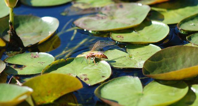 cicada-killer-wasp