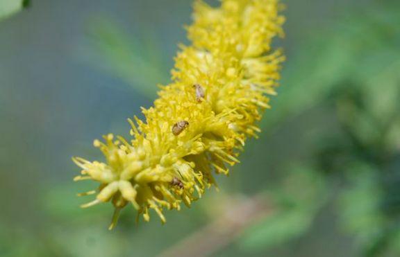 seed-beetles-on-screwbean-mesquite
