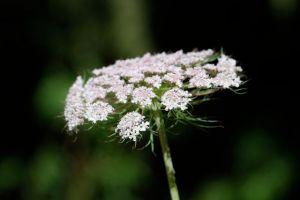 carrot-flower-2
