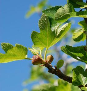 figs-on-tree-2