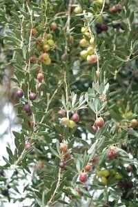 olives-fruit-green