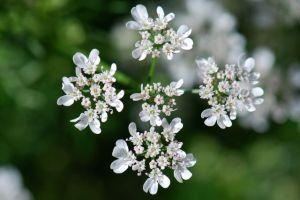 cilantro-flower-best